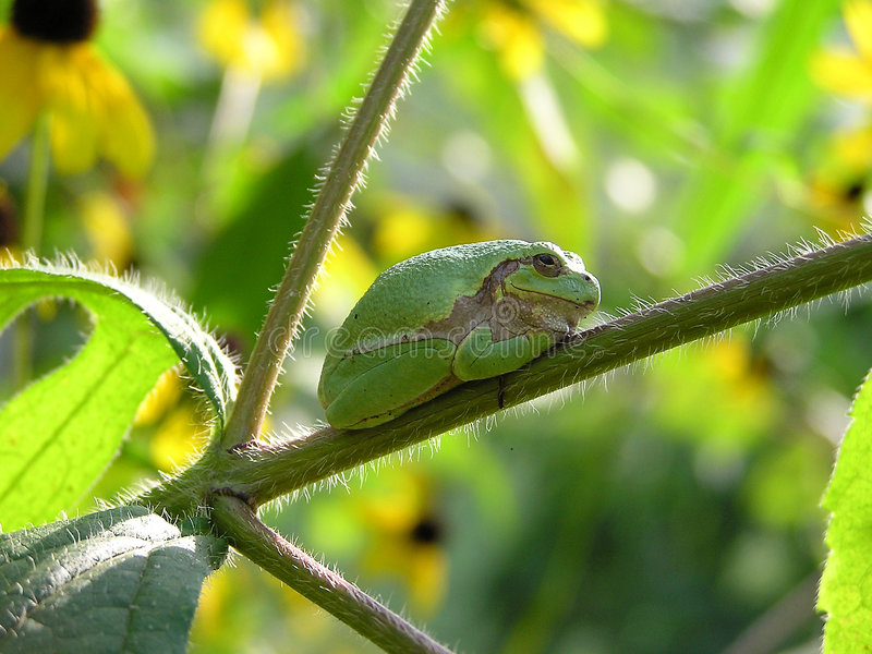Download Tree Frog stock image. Image of wildlife, green, frogs - 225999