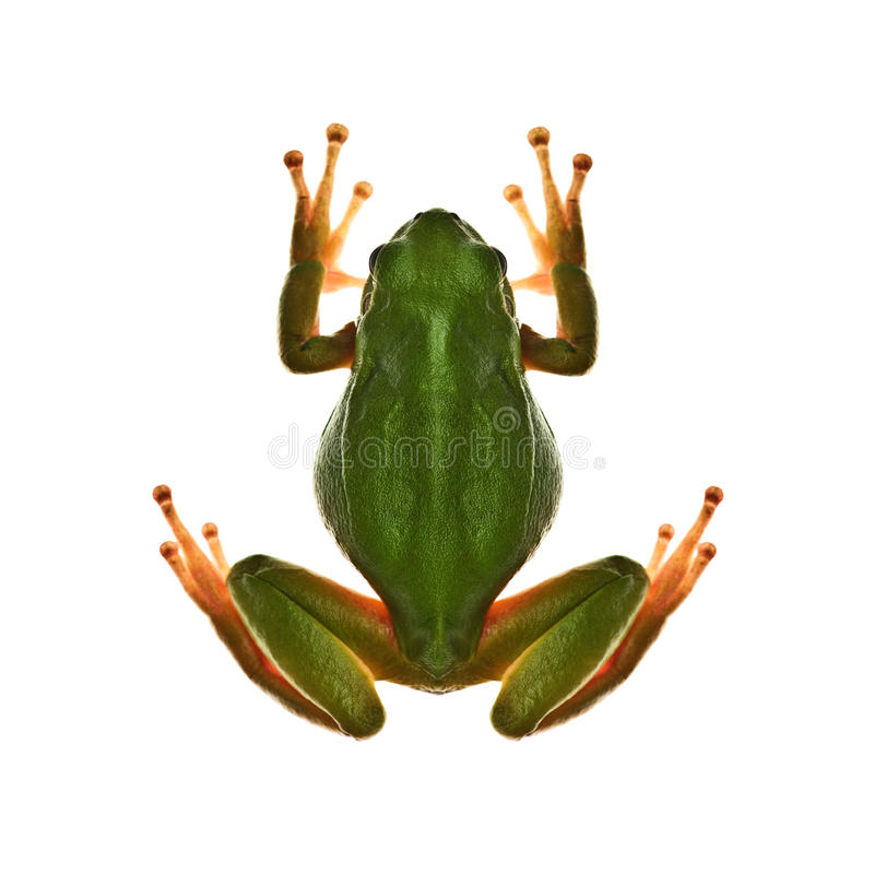 Download Tree_frog stock photo. Image of froggy, front, stare - 27353712