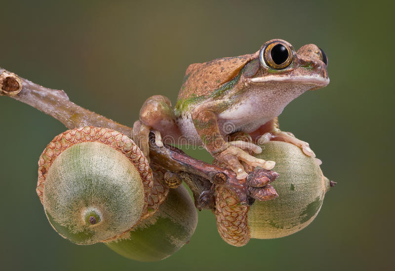 Tree frog on acorns. A big-eyed tree frog is sitting on a branch of acorns stock images