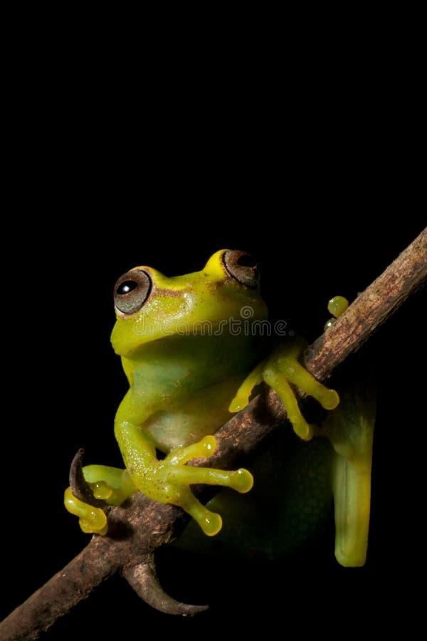 Download Tree Frog Amazon Tropical Rainforest Amphibian Stock Photo - Image of green, sitting: 9798006