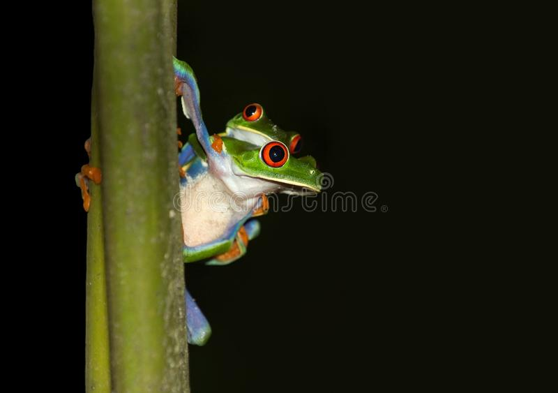 Tree Frog, Amphibian, Frog, Fauna royalty free stock images