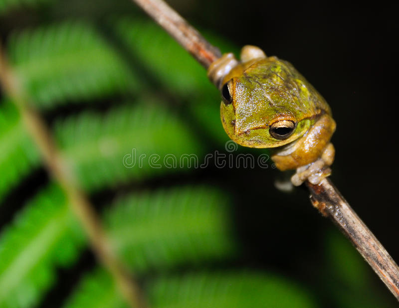 A tree frog on a branch. In the dense peruvian rainforest a tree frog of the Hyla family climbs on a branch in search of food royalty free stock photography