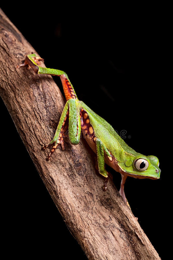 Tree frog in Brazil amazon rain forest royalty free stock images
