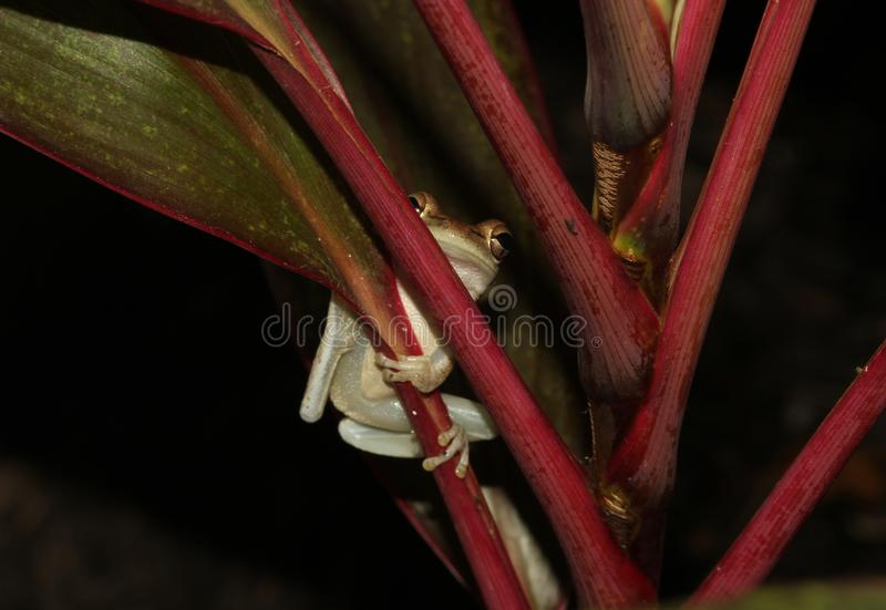 Tree Frog Close Up in wild stock images
