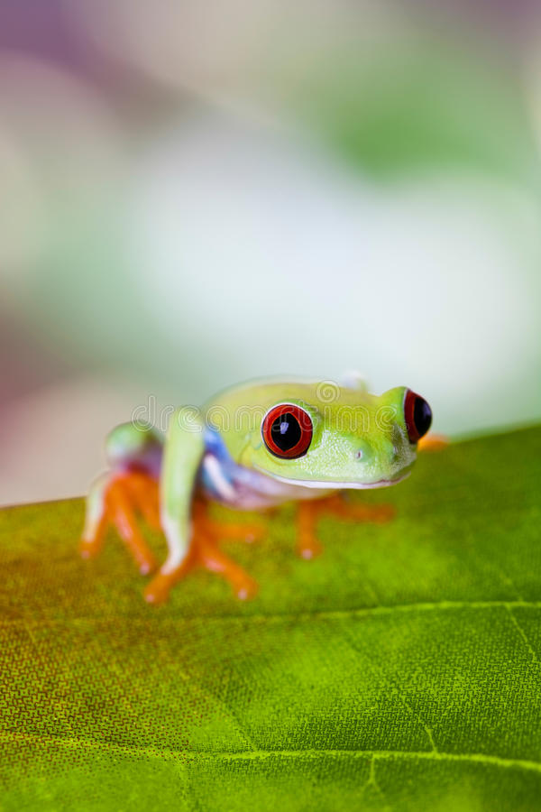 Tree frog on colorful background.  royalty free stock photography