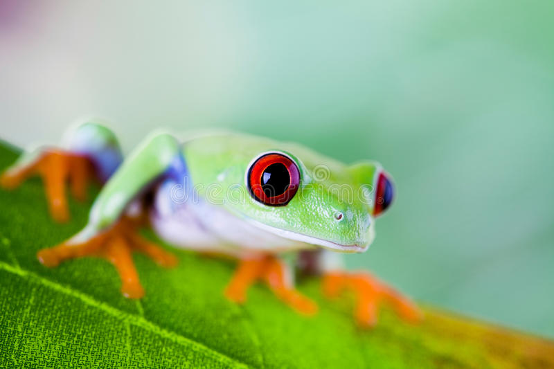 Tree frog on colorful background.  royalty free stock image