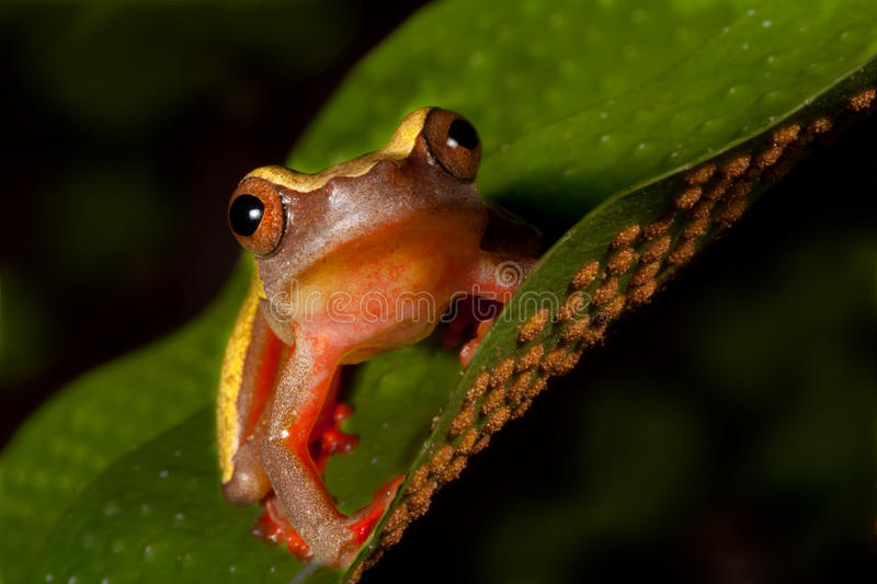 Tree frog cute tropical animal amphibian royalty free stock images