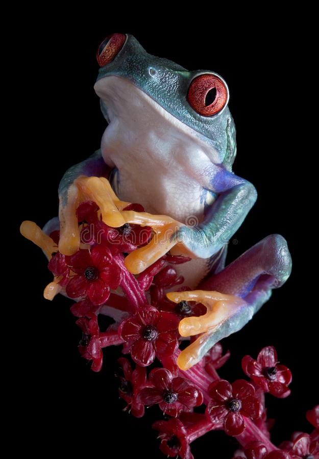 Tree frog after dark royalty free stock photography