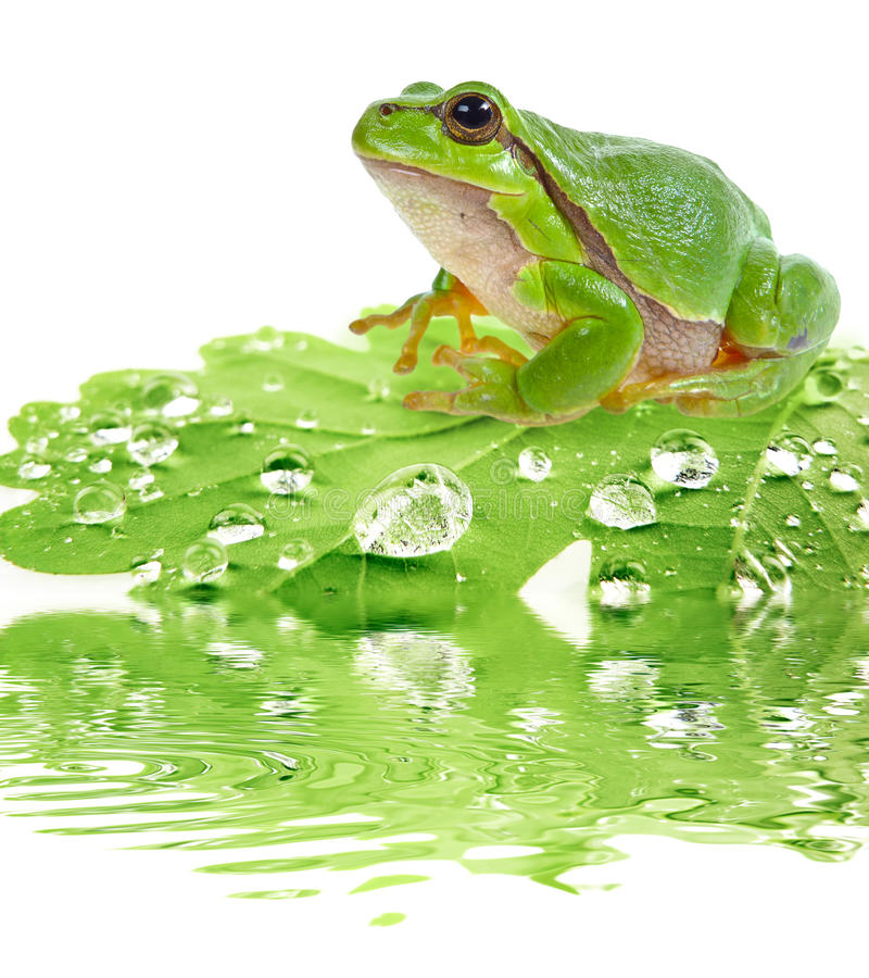 Tree frog on dewy leaf. Isolated on white royalty free stock photos