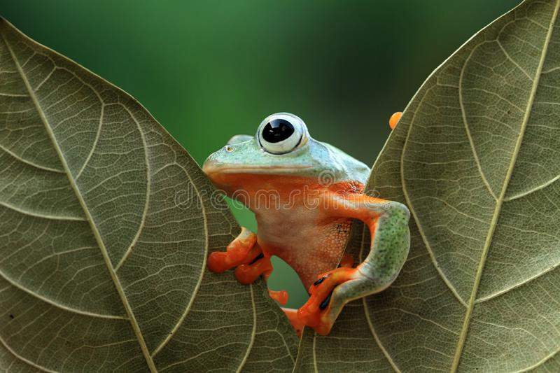 Tree frog, dumpy frog on green leaves, wallace. Tree frog on green leaves, javan tree frog stock photos