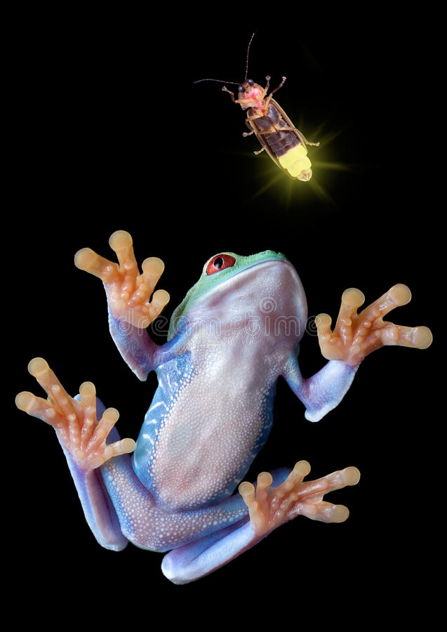 Tree frog after firefly stock photos
