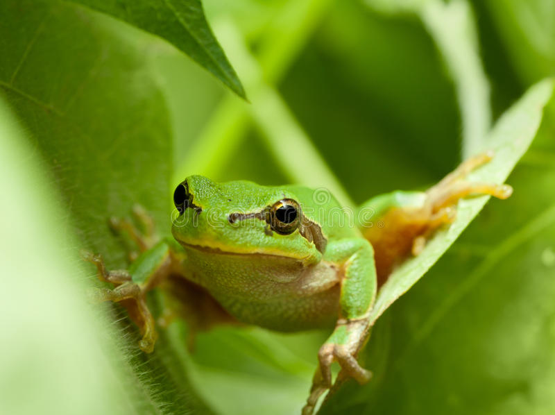 Tree frog funny peek. Macro of tree frog peeking out from behind the leaves royalty free stock photos