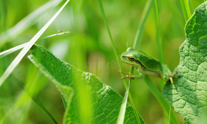Tree frog in the grass royalty free stock photo