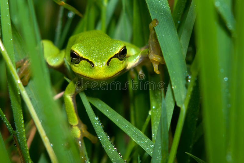Tree frog in the grass stock photo