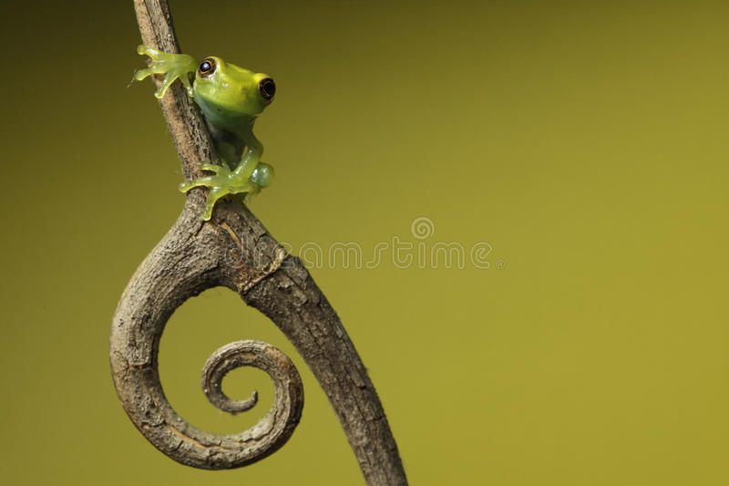 Download Tree Frog On Green Background Copyspace Amphibian Stock Photo - Image of exotic, endangered: 14624724