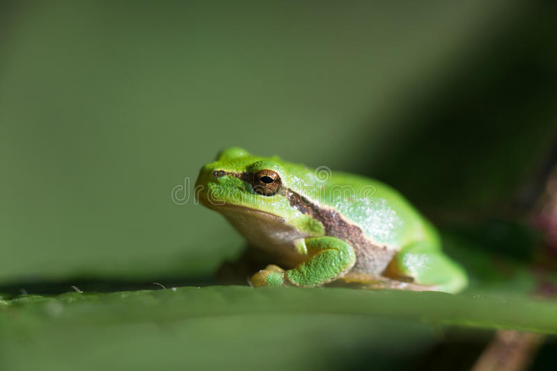 Download Tree frog Hyla arborea stock photo. Image of arborea - 26917090
