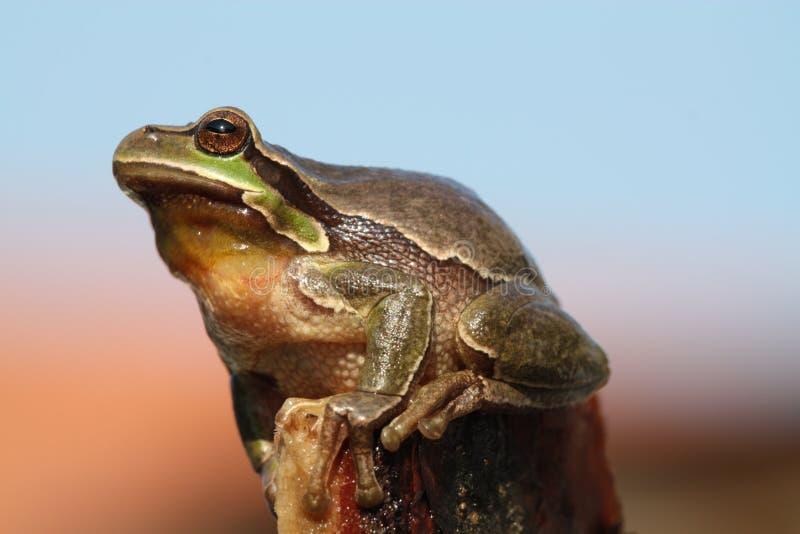 Tree Frog. (Hyla arborea), Czech republic royalty free stock photography