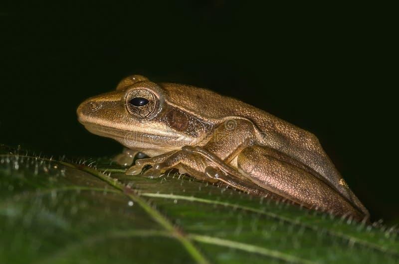Tree Frog From India stock photo
