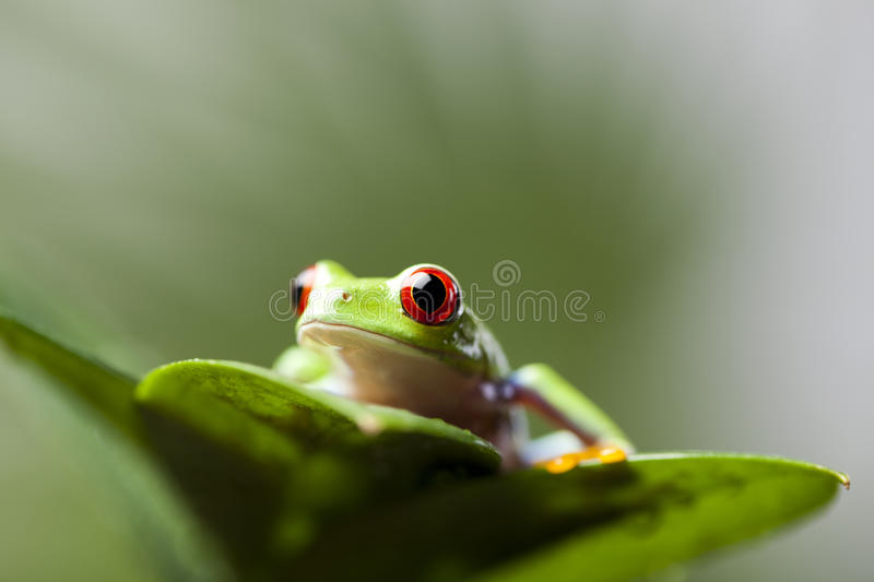 Tree frog. Frog in the jungle on colorful background royalty free stock photo