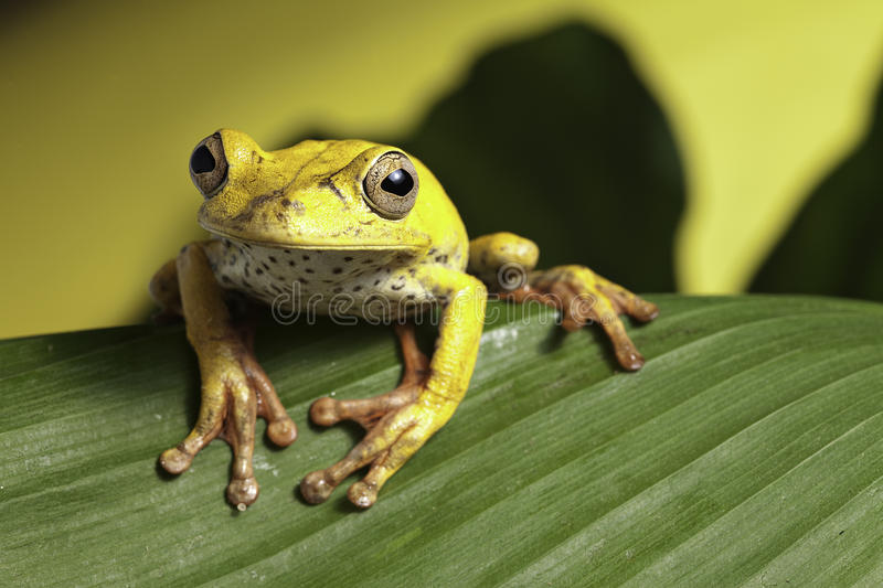 Download Tree Frog On Leaf Amphibian In Wild Amazon Jungle Royalty Free Stock Images - Image: 14158979