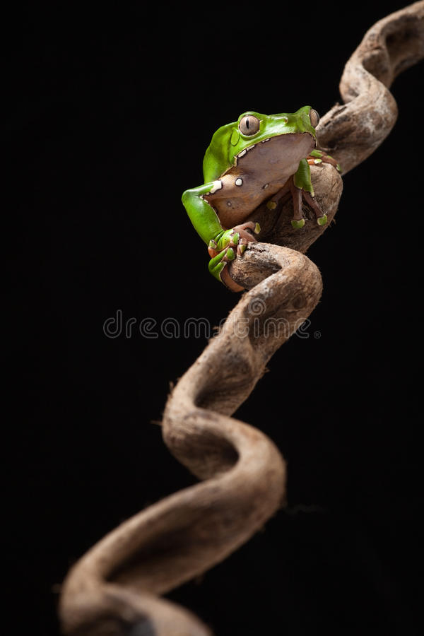 Tree frog at night on branch in jungle royalty free stock image