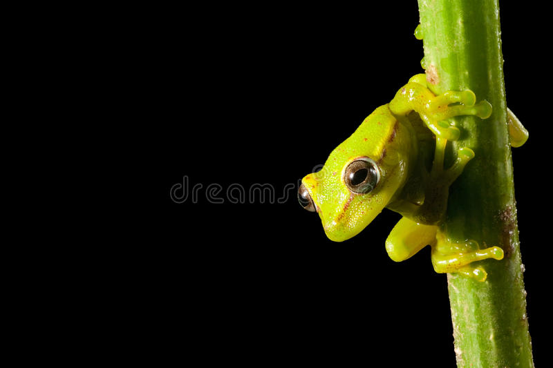 Tree frog at night in Brazil amazon rain forest royalty free stock photography