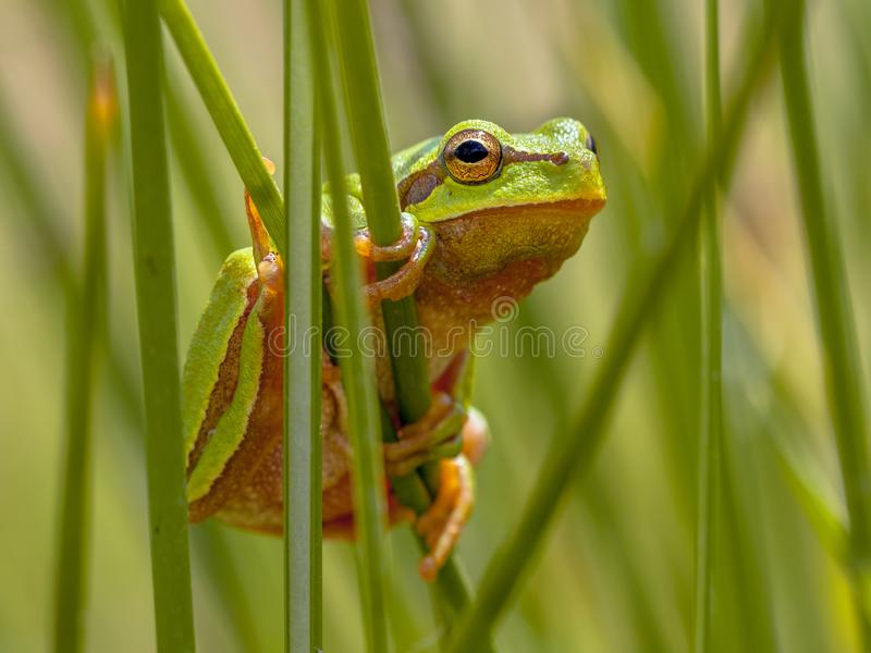 Tree frog peeking from behind rush. Tree frog (Hyla arborea) looking from behind common rush (juncus effusus) into the camera stock photo