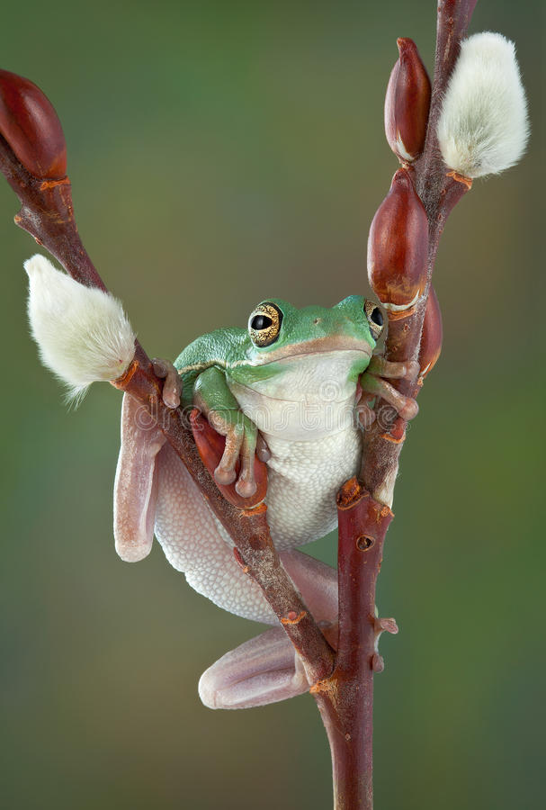 Tree Frog On Willow Royalty Free Stock Photo