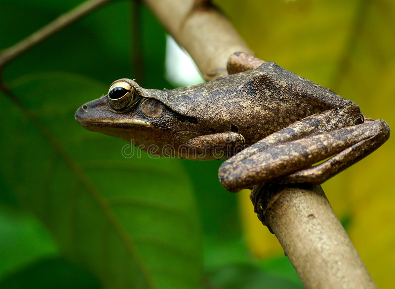 Download Tree Frog: Ready To Jump Royalty Free Stock Photo - Image: 687665