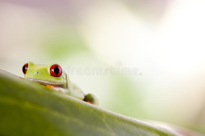 Tree frog. Red eye tree frog on colorful background stock images