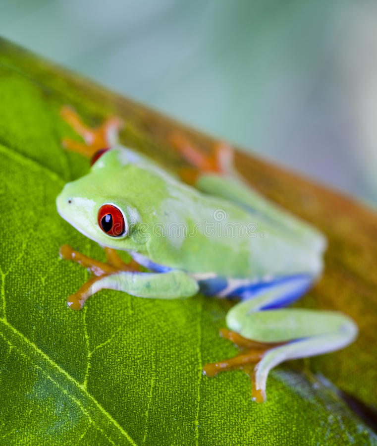 Tree frog. Red eye tree frog on leaf on colorful background royalty free stock images