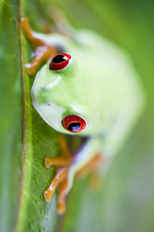 Tree frog. Red eyed frog green tree on colorful background royalty free stock images