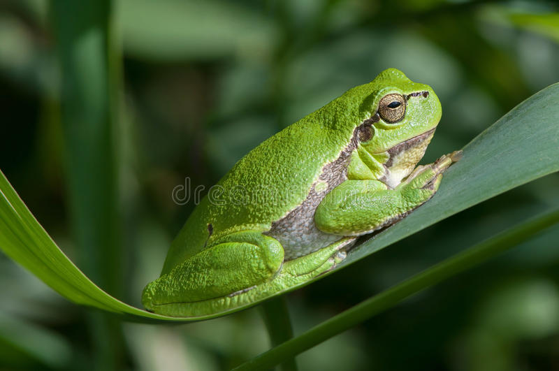Tree frog on a reed leaf stock photography
