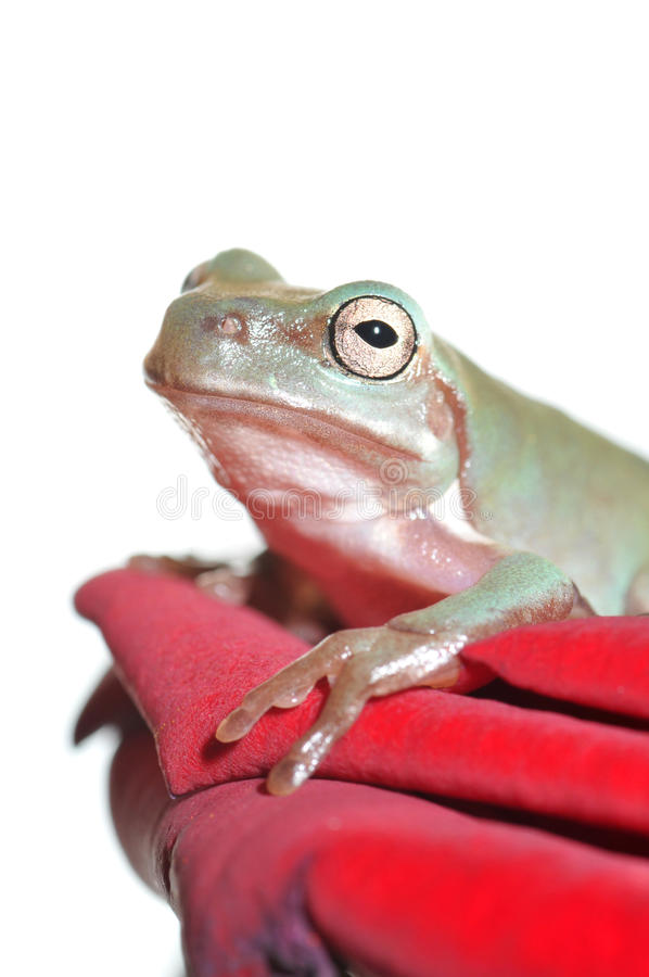 Tree Frog On Rose Royalty Free Stock Image