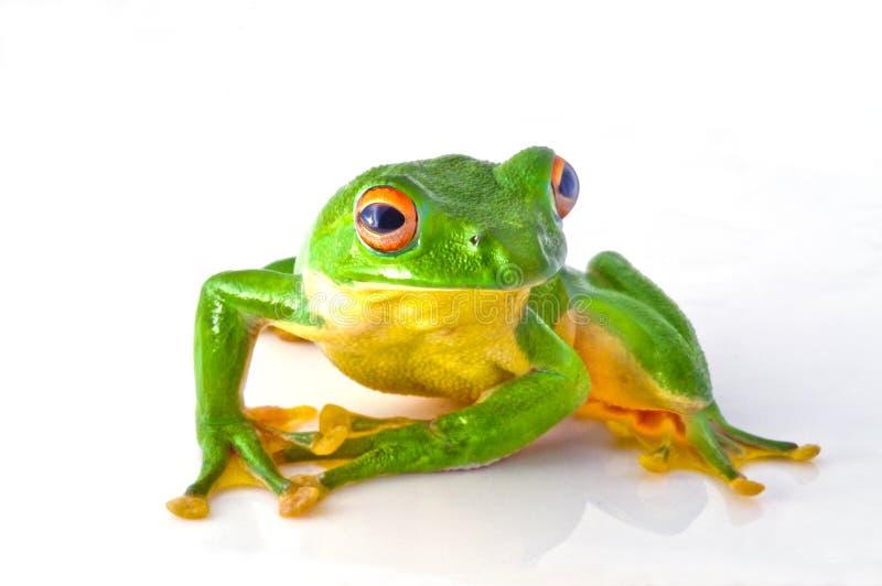 Download Tree frog stock image. Image of eyes, frog, pewter, sclera - 32864537