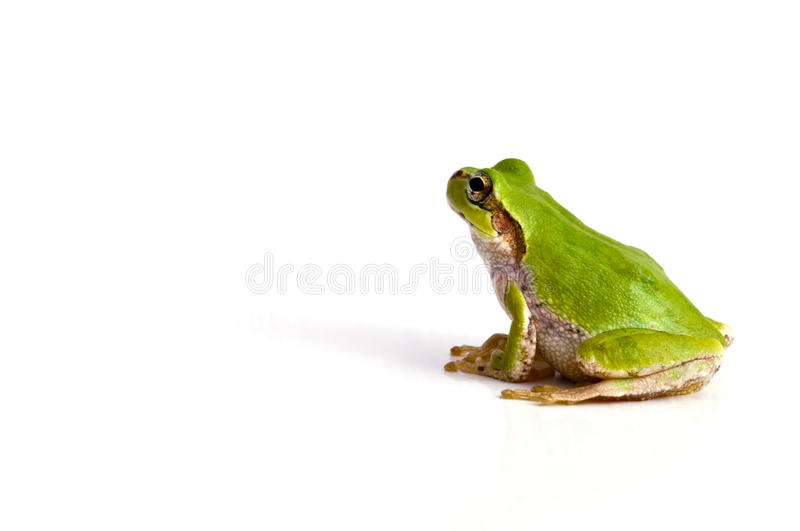Download Tree frog stock photo. Image of macro, front, back, foreground - 32864402