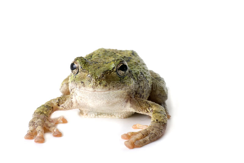 Download Tree Frog Staring stock image. Image of background, white - 16158585