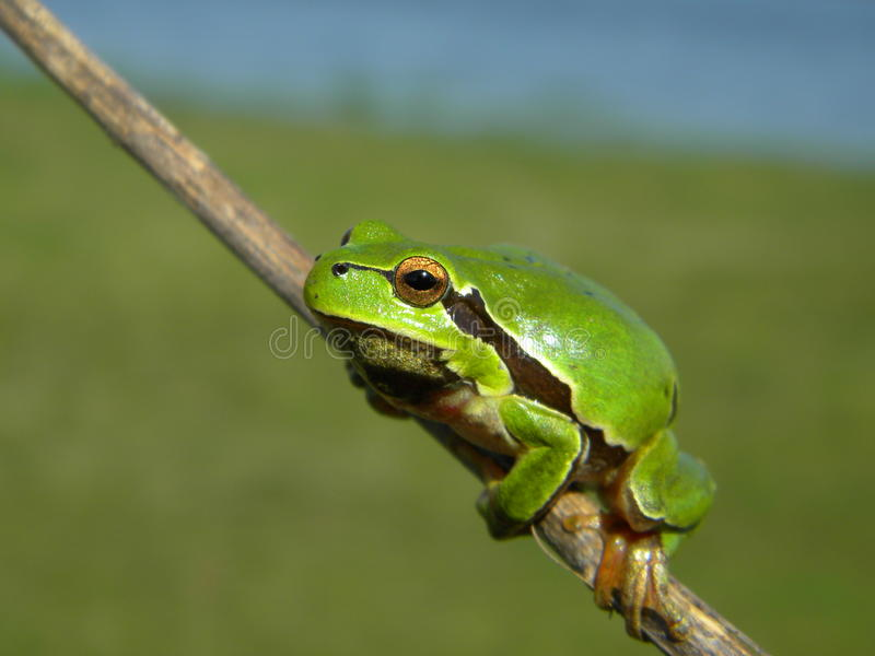 Tree frog on a stick stock images