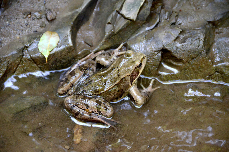 Tree frog in a stream. royalty free stock images
