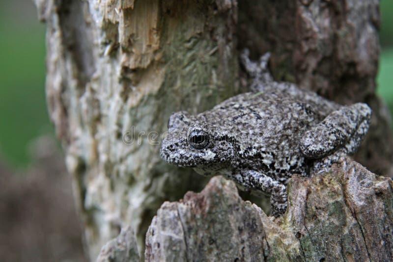 Tree Frog on a Stump stock photo