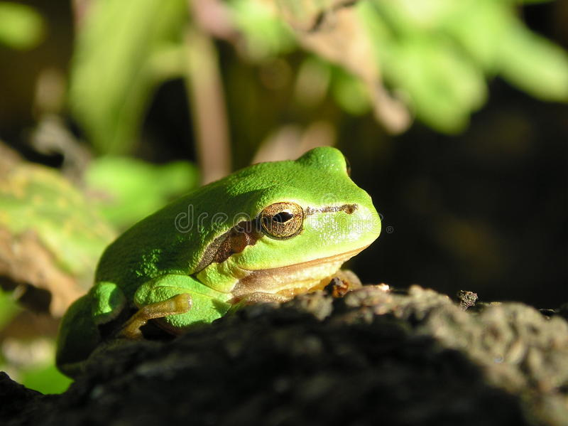 Tree frog in the sun stock photo