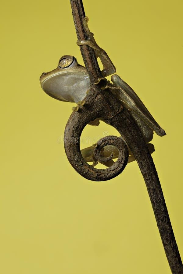 Download Tree Frog Tropical Rainforest Animal Amphibian Stock Image - Image: 14158921