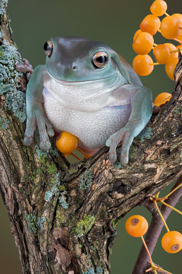 Free Tree Frog With Yellow Berries Royalty Free Stock Photos - 6615678