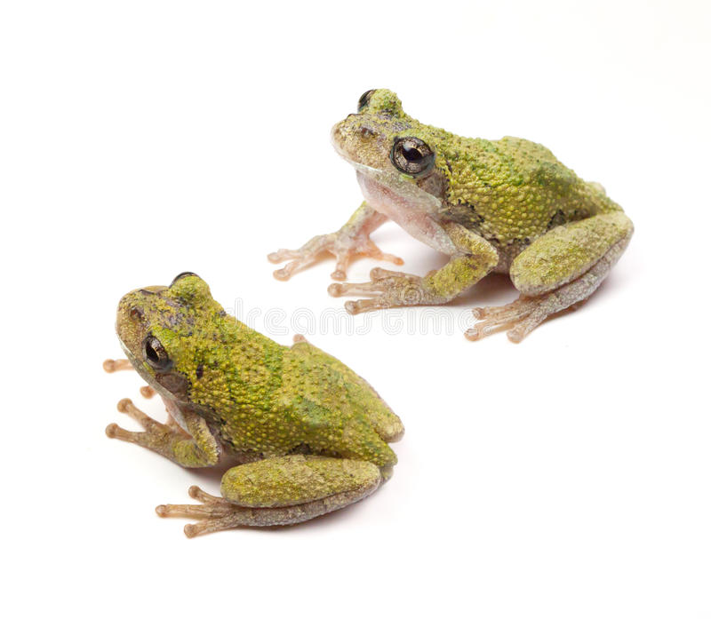 Tree Frogs. Two Cope's Gray Tree Frogs (Hyla chrysoscelis) on a white background stock photo