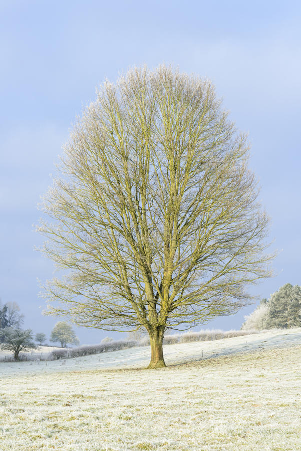 Tree on a frosty winter day stock photo