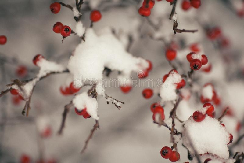 Tree With Fruit Covered With Snow royalty free stock photo