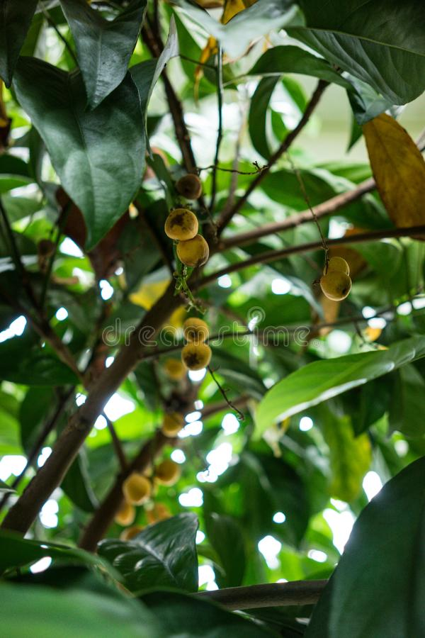 Tree with fruits from birma grape baccaurea ramiflora. From asia stock image