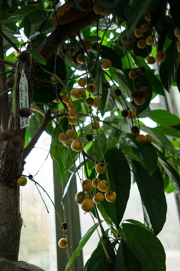 Tree with fruits from birma grape baccaurea ramiflora. From asia royalty free stock photos