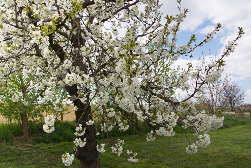 Tree full of apple blossom royalty free stock photography