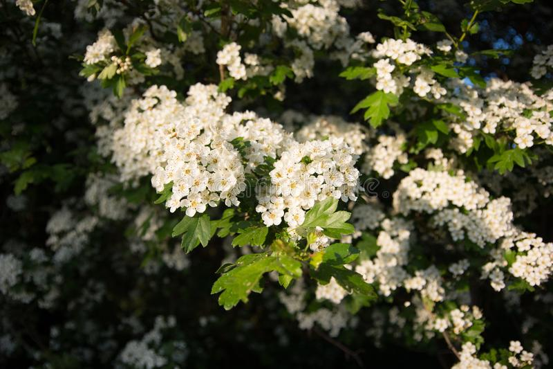 Tree full of the flowers, Nezamyslice, Moravia, Czech Rebublic. Europe royalty free stock image